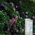 見頃過ぎても、なお鮮やかな紫陽花